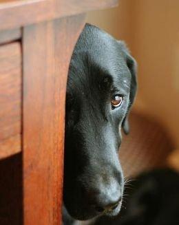 shy-dog